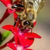 Busy Bee - Macro