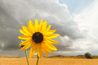 bee, sunflower and storm