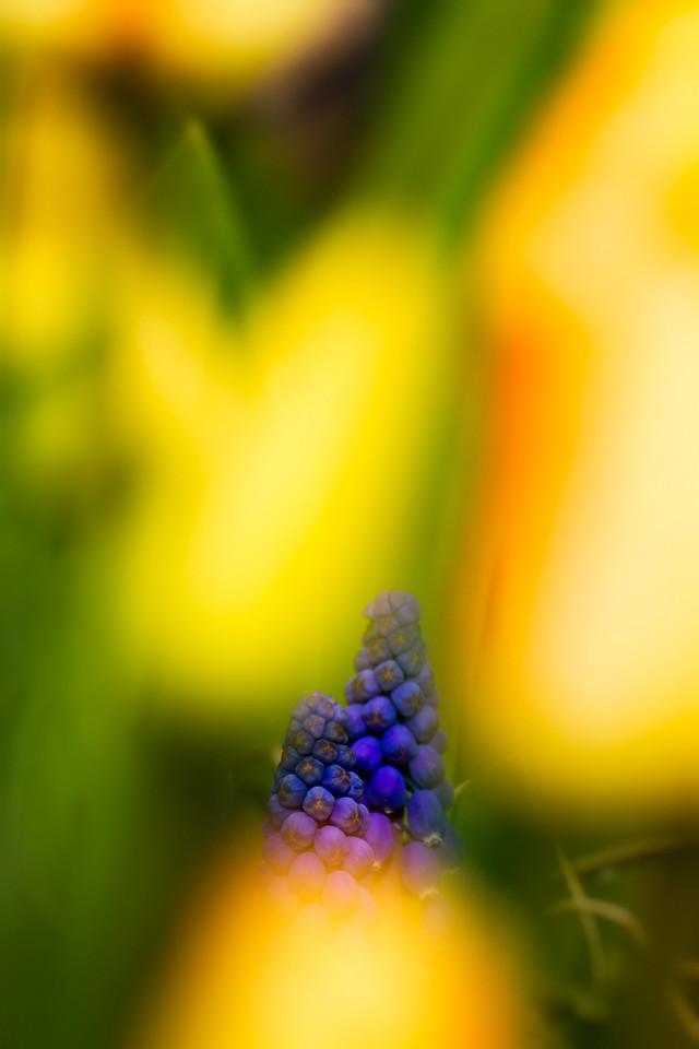 grape hyacinth in the tulips