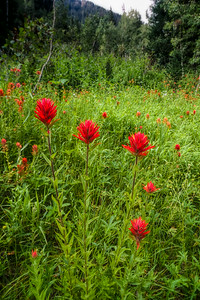 Field of Castilleja, Indian paintbrush