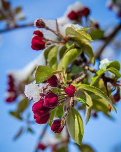 Crabapple blooms covered in snow