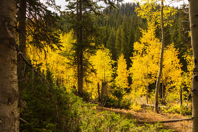 Guardsman Pass quaking aspen