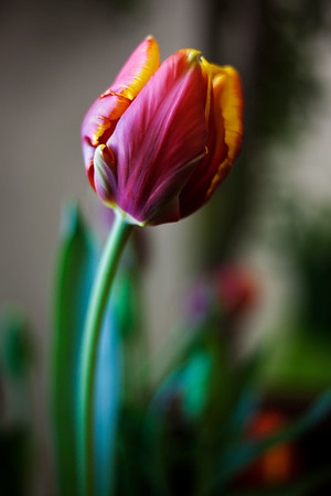 2017-03-05_Tulips_002