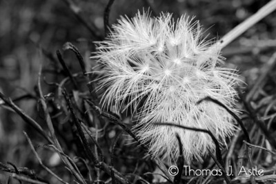 Regeneration (Post-Wildfire Dandelion, Montana)
