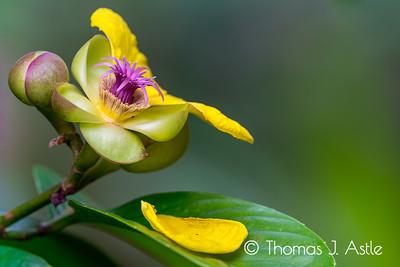 Dillenia excelsa blossom, Borneo Rainforest Lodge