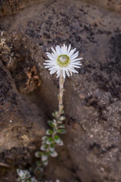 Anaphalioides alpina. Manawatu-Whanganui.