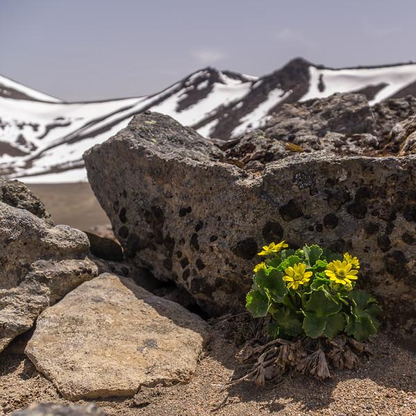 Mount Egmont Buttercup, Ranunculus nivicola. Waikato.