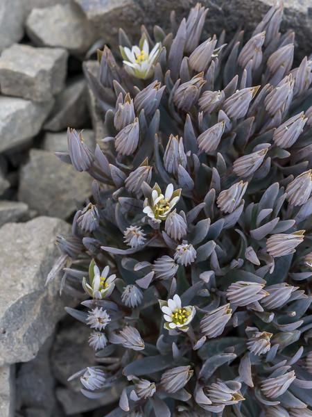 Stellaria roughii, Scree chickweed