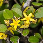 Korokio, Corokia cotoneaster. Banks Peninsula.