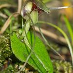 Spider Orchid, Corybas sp. Marlborough.