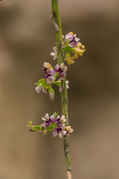 Common Broom, Carmichaelia australis. Marlborough.