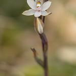 Sun Orchid, Thelymitra longifolia. Tasman.