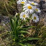 Dolichoglottis scorzoneroides, White Snow Marguerite or Snow Groundsel