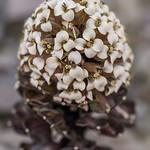 Penwiper, Notothlaspi rosulatum. Tasman.
