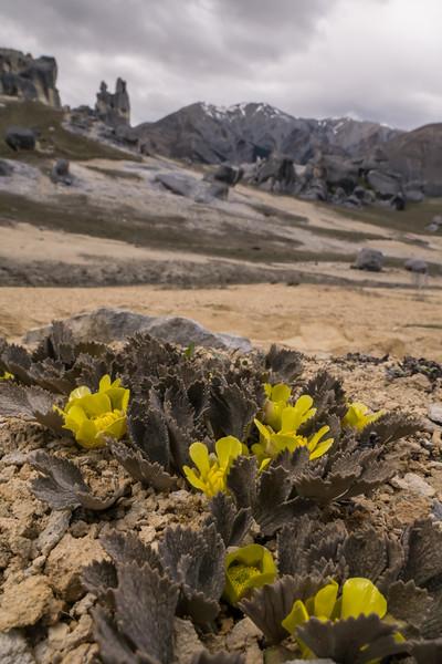 Castle Hill Buttercup, Ranunculus paucifolius. Canterbury.
