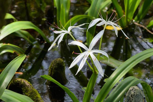 Swamp Lily (Crinum americanum)