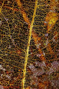 Autumn Gold Leaf