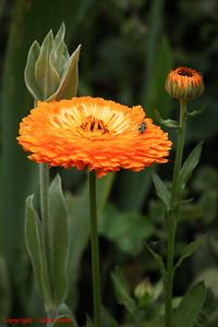 Beetle - Thick-Legged Flower Beetle (Oedemera nobilis) on Marigold