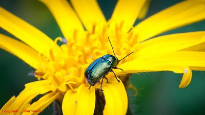 Beetle - Unidentified