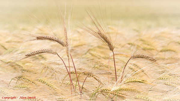 Wheat - Spiky Soft