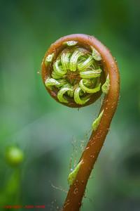 Fern Unfolding