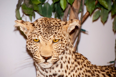 This Leopard is staring right at us.