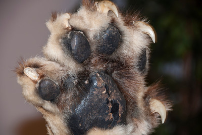 A high five with a lioness might not be a good idea when you see Connor's close-up photo of the claws.