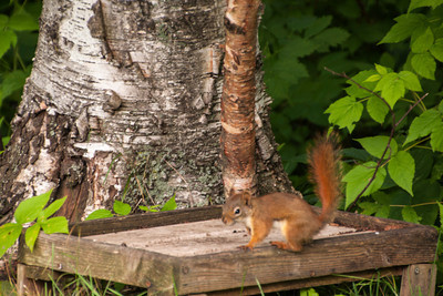 One of our Red Squirrels posed for Connor.