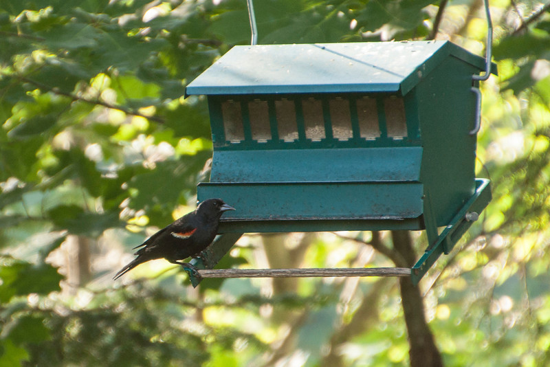 Connor can identify many of the birds who come to our feeders.  He took this photo of a male Red-winged Blackbird.