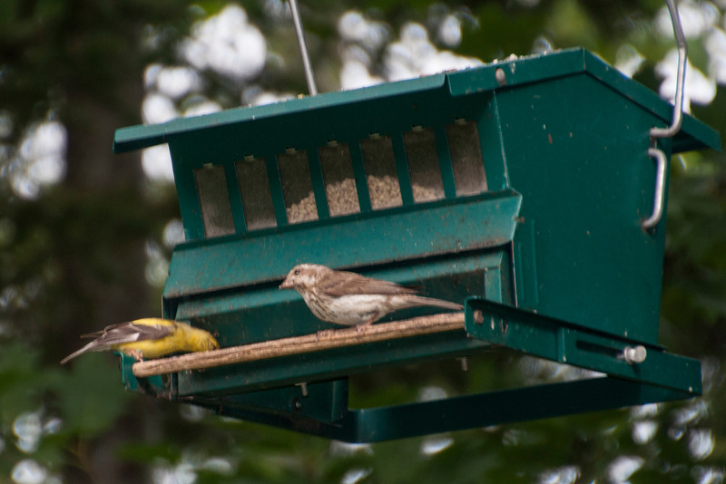 He also got a photo of two finches together at the feeder.  This is a Goldfinch (on the left) and a Purple Finch.