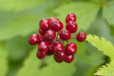 Connor took a close-up photo of some Red Baneberry fruit.  We did discuss the fact that this is a not a good berry to eat because it will make you sick.