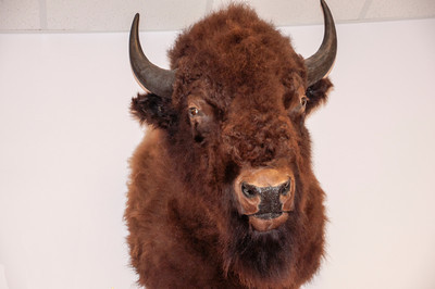 We were very impressed at the size of this Bison head.