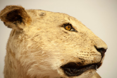 Here's a head shot of another lioness in the collection.