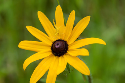 In our wildflower garden Connor took a photo of this Black-eyed Susan.  We then noticed a Goldenrod Crab spider hiding on the yellow petals.
