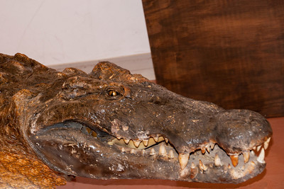 Connor took photos of all the animals in the collection.  This Alligator is one of his favorites.