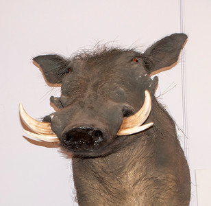 Here's a real cutie, a Warthog.