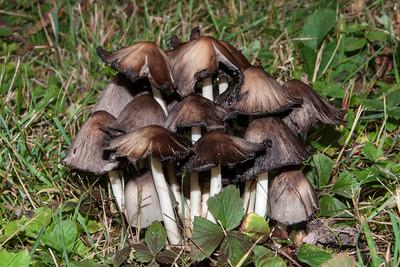 Alcohol Inky - (Tippler's Bane) - (Coprinus atramentarius) - Dunning Lake - Itasca County, MN