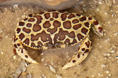 Crab - Calico - Gulf Specimen Lab - Panacea, FL