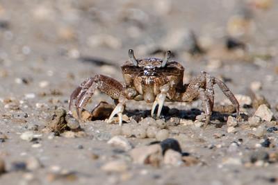 Crab - Fiddler - female - St. Marks NWR - FL
