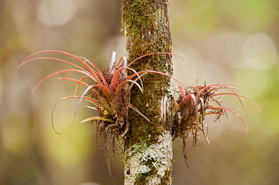 Air Plant - Corkscrew Swamp, FL