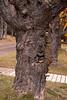 Gnarly Tree - Maple Hill Cemetery - Grand Marais, MN