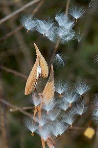 Milkweed Seeds - Dunning Lake - Itasca County, MN