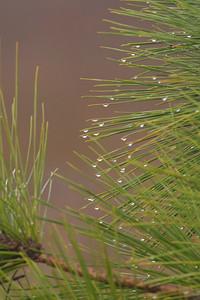 Longleaf Pine with Dew Drops - St. George Island State Park - FL