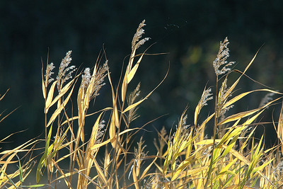 Grasses with seed heads - Itasca County, MN