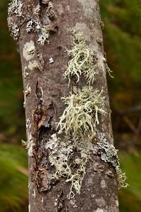 Lichens - Cascade River State Park - MN