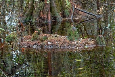 Cyprus knees - Okefenokee Swamp - GA
