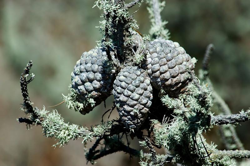 Pine Cones - Monterey Peninsula - CA