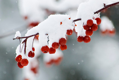 Crab Apples and Snow - County Park - Roseville, MN