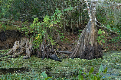 Cyprus roots - Corkscrew Swamp - FL