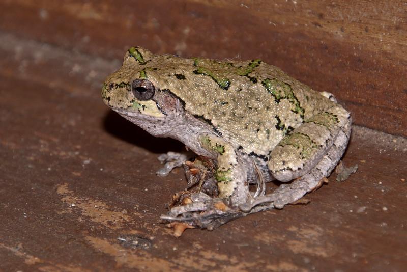 Frog - Gray Tree - Dunning Lake - Itasca County, MN